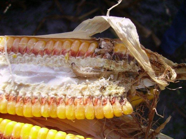 OGM | Milho Bt beneficia culturas biológicas e convencionais: Investigação de 40 anos de dados