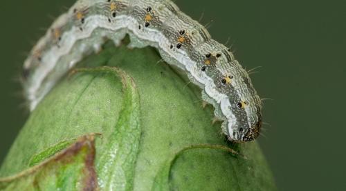 Descoberta | Porque são as lagartas resistentes ao algodão GM?
