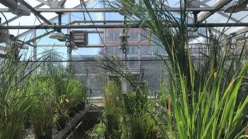 PBi | Genes de gramíneas utilizados para produzir melhores colheitas de milho e sorgo