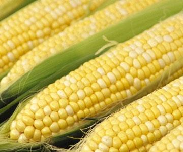 Estudo | OGM podem mitigar impactos das alterações climáticas
