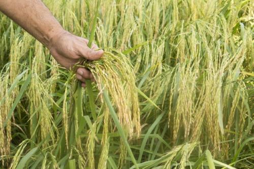 OGM | Gene OsBIG é crucial para o sucesso da transplantação da planta de arroz