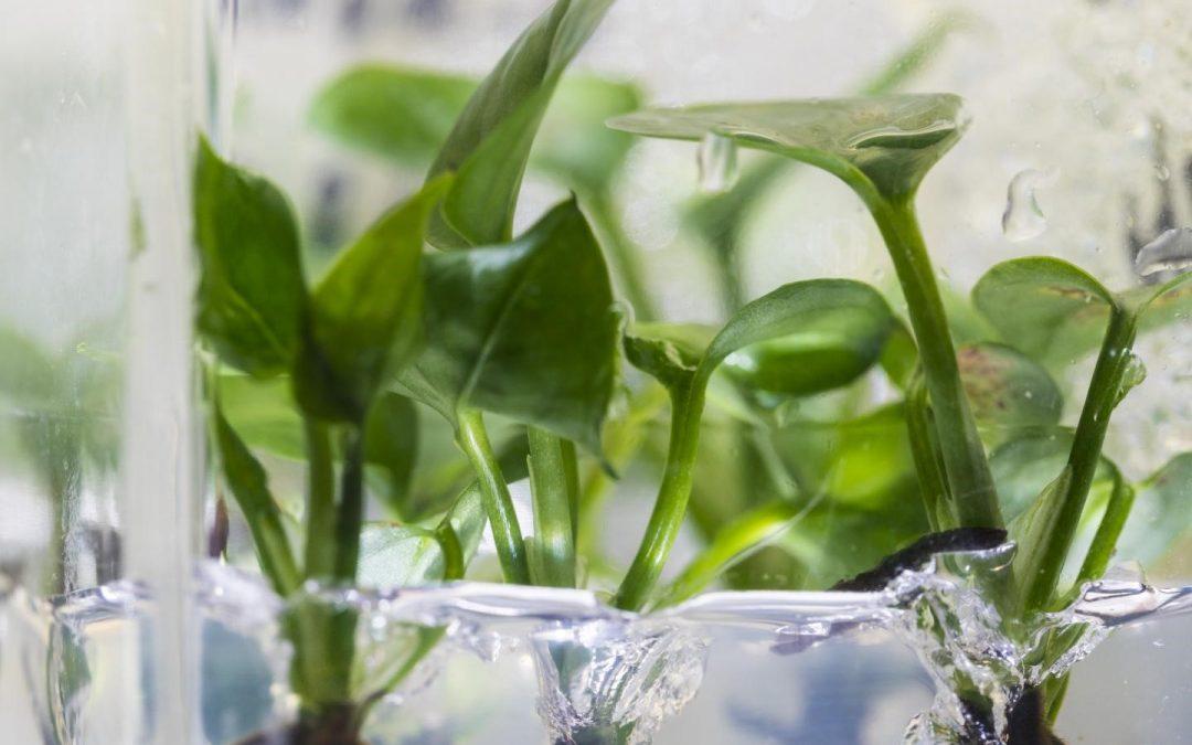OGM   A planta que elimina substâncias perigosas do ar