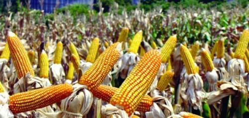 OGM | Milho transgénico está a transformar a vida dos agricultores nas Filipinas