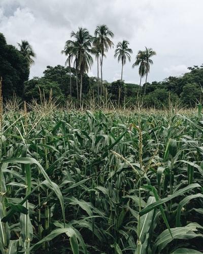 Transgénicos | Ativistas anti-OGM comprometem segurança alimentar em África com mentiras sobre culturas GM