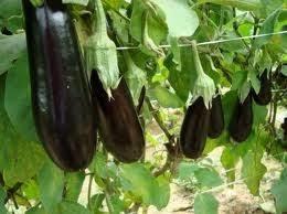 Bangladesh | Beringela Bt permite produção seis vezes maior do que a variedade convencional