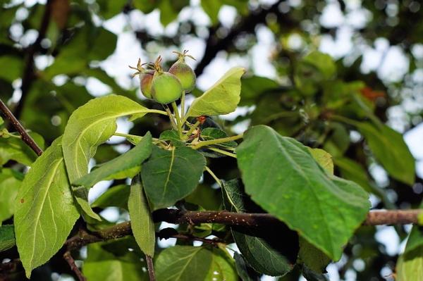 EUA e Canadá  Edição de genomas pode ser solução para doença que mata macieiras jovens?