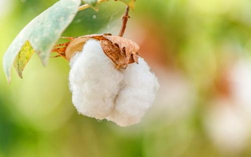 OGM | Produção de algodão Bt aprovada no Quénia