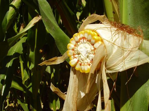 OGM | Relatório conclui que milho transgénico não causa efeitos adversos
