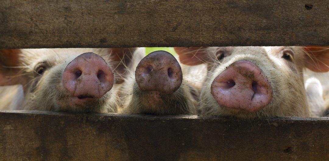 Edição genética | Cientistas tentam controlar peste suína africana com CRISPR