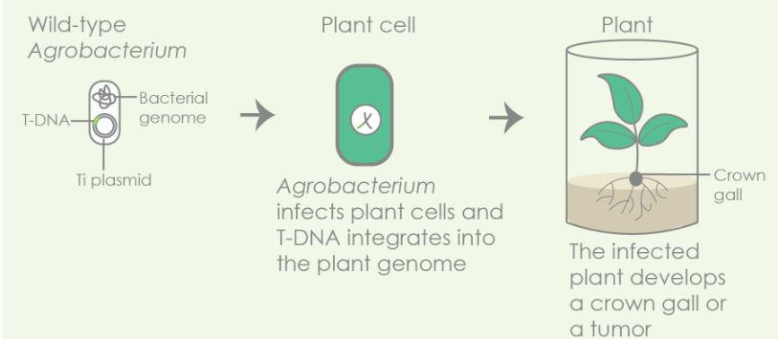 OGM | As plantas transgénicas são mais naturais do que imagina