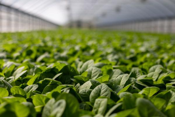 Consulta pública   Reino Unido apoia lei da separação entre OGM e edição genética