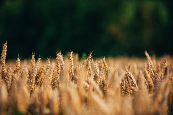 Estudo | Como a inovação no melhoramento de plantas contribui para uma agricultura mais sustentável