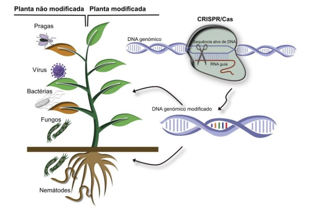 Estudo   Edição genética melhora segurança alimentar