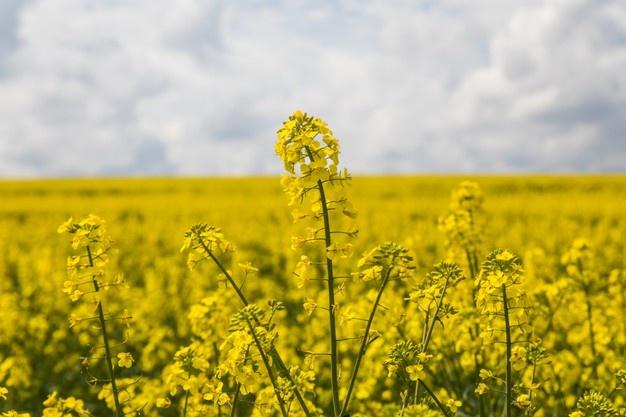 OGM | Colza tolerante a herbicida recebe parecer favorável da EFSA