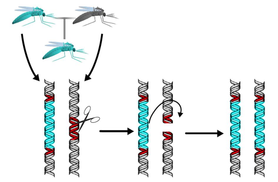 Gene Drive | Tecnologia pode ser usada em beneficio da agricultura e do controle de doenças
