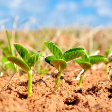 OGM | Canadá aprova soja tolerante à seca e a herbicidas