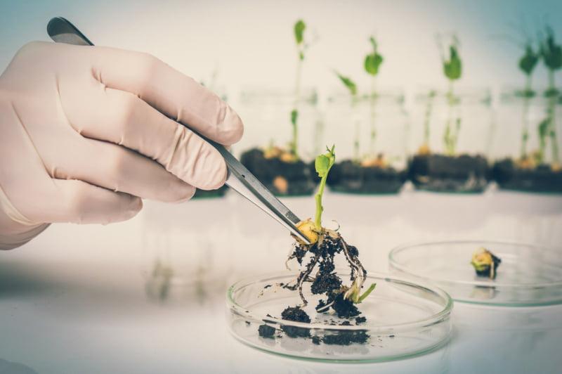 OGM | Austrália autoriza produção de variedades geneticamente modificadas