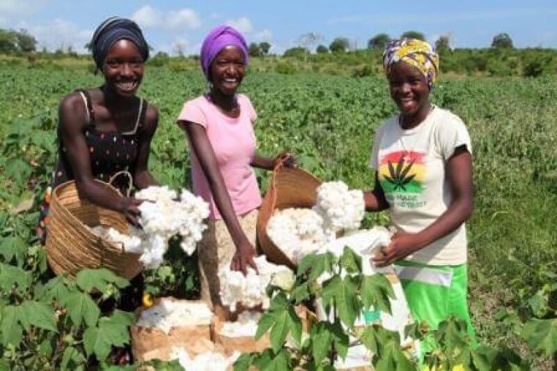 OGM | Algodão transgénico pode ajudar a revitalizar indústria têxtil no Quénia