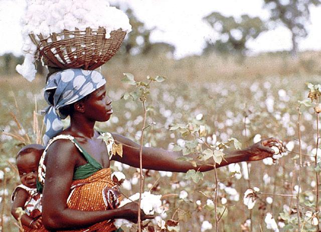 OGM | Agricultores do Zimbábue querem produzir algodão geneticamente modificado