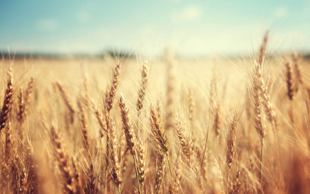 CRISPR | Reino Unido aprova ensaios de campo de trigo geneticamente editado
