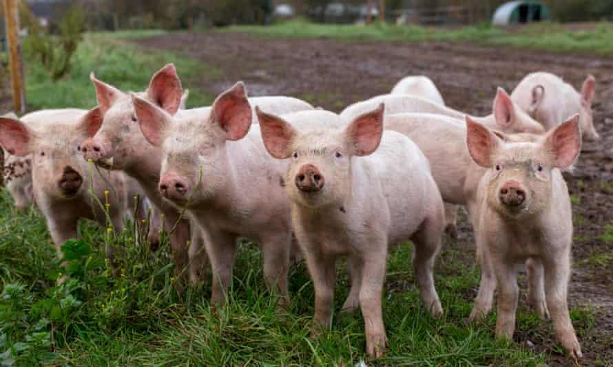 Edição genética   Tecnologia permitiria criar gado mais resistente a doenças