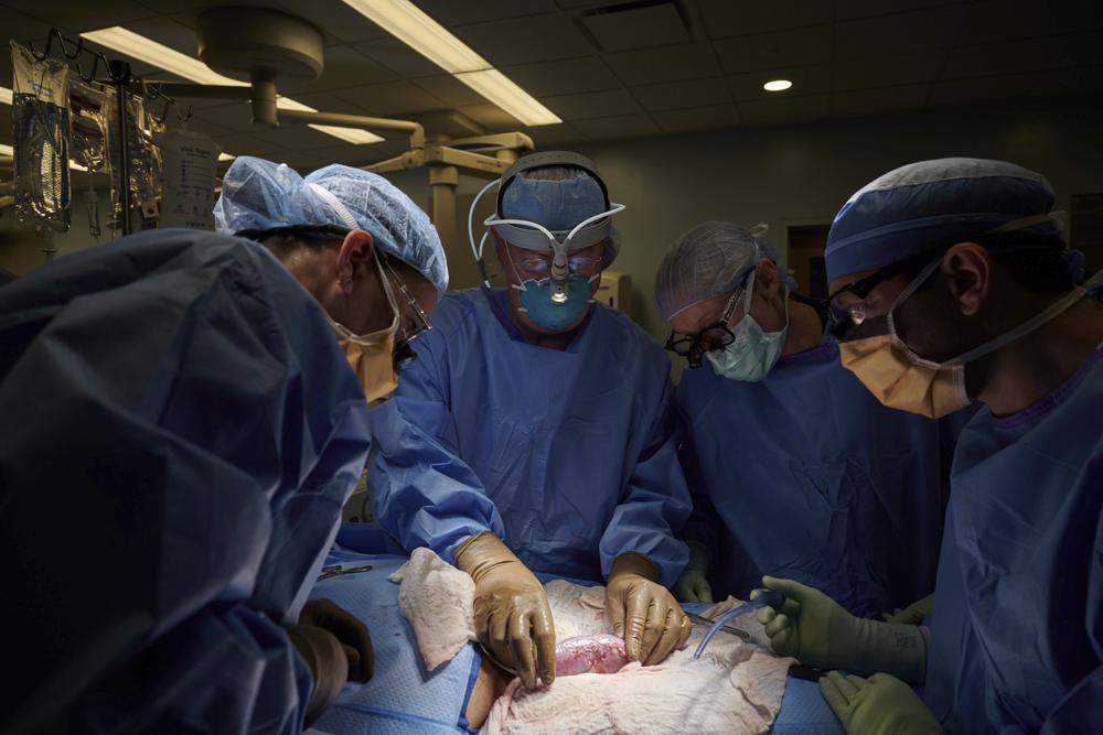 Transplante   Rim de porco geneticamente editado usado em corpo humano
