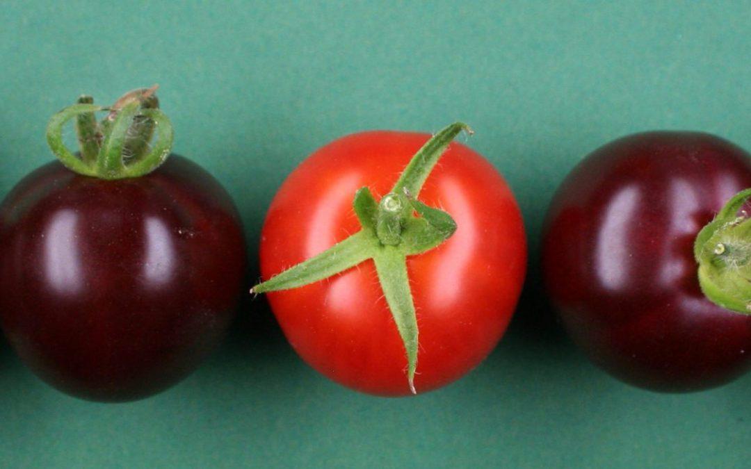 OGM | Cientistas desenvolvem tomate roxo com betanina